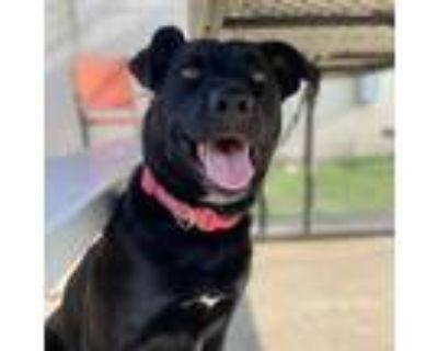 Adopt Adora a Black Labrador Retriever / Mixed dog in Raytown, MO (32015791)