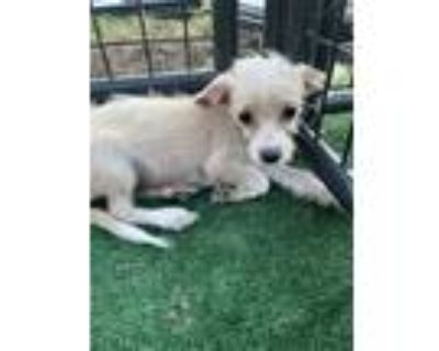 Adopt Dixie Lou a White Terrier (Unknown Type, Small) dog in Lafayette