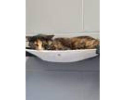 Adopt Chrysanthemum (Barn Cat) a Domestic Longhair / Mixed (long coat) cat in