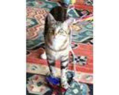 Adopt Susy a Domestic Short Hair