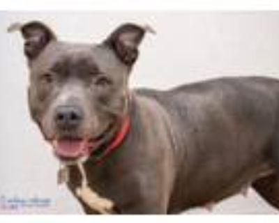 Adopt Hazel 48149067 a Pit Bull Terrier