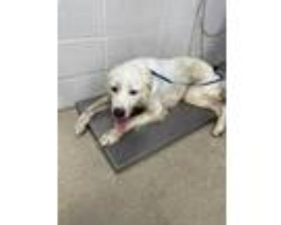 Adopt 48346430 a White Great Pyrenees / Mixed dog in Fort Worth, TX (32117861)