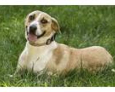Adopt Daisy a Tan/Yellow/Fawn Catahoula Leopard Dog / Mixed dog in Cashiers