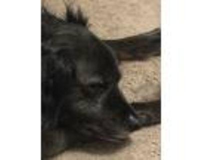 Adopt Tobe a Black - with White Australian Shepherd / Mixed dog in Dayton