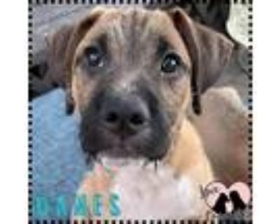 Adopt Danes a Tan/Yellow/Fawn Boxer / Terrier (Unknown Type