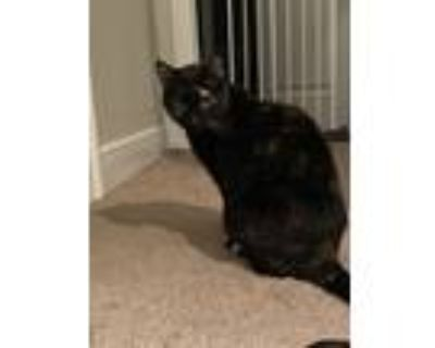 Adopt Lucy a Black (Mostly) Domestic Shorthair / Mixed (short coat) cat in