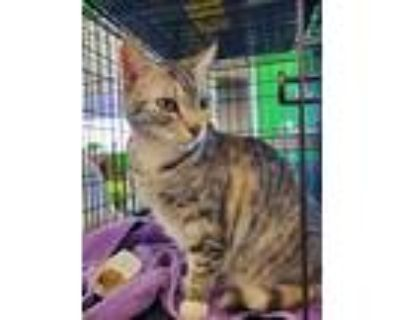 Adopt Apple a Gray, Blue or Silver Tabby Domestic Shorthair cat in Smyrna
