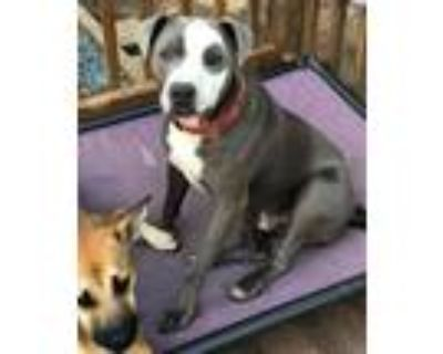 Adopt Cosmo a American Staffordshire Terrier, Pit Bull Terrier
