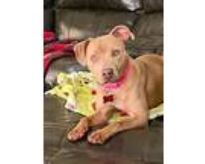 Adopt Sissie a Tan/Yellow/Fawn Pit Bull Terrier / Mixed dog in Boston