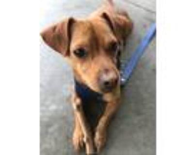 Adopt Ollie a Red/Golden/Orange/Chestnut Dachshund / Boston Terrier / Mixed dog
