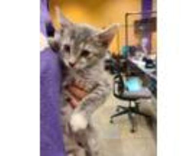 Adopt 47790589 a Domestic Short Hair