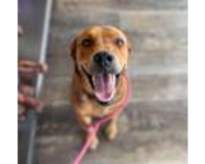 Adopt George (OAM)(K) a Brown/Chocolate Labrador Retriever dog in Portland