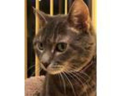 Adopt Frannie a Gray, Blue or Silver Tabby Domestic Shorthair / Mixed (short