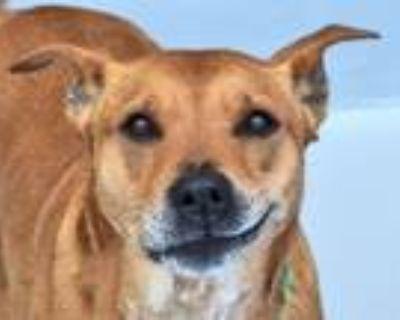 Adopt DAISY a Boxer, Labrador Retriever