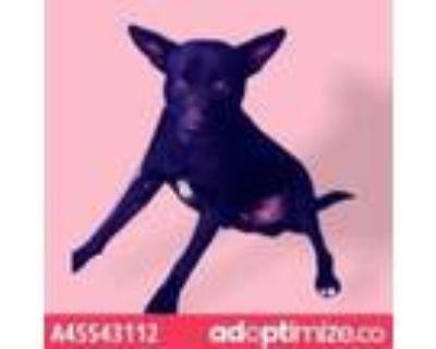 Adopt 45540504 a Black German Shepherd Dog / Mixed dog in El Paso, TX (31481525)