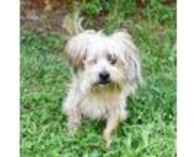 Adopt Marcel 11073 a Yorkshire Terrier