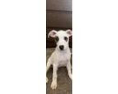 Adopt Apollo a Brown/Chocolate - with White American Pit Bull Terrier / German