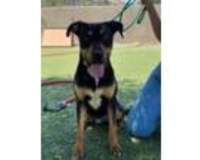 Adopt Benito a White Rottweiler / Mixed dog in El Paso, TX (31526123)