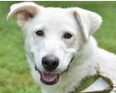 Adopt Champ a White Great Pyrenees / Mixed Breed (Large) / Mixed dog in Seymour
