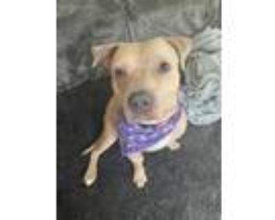 Adopt Theo a Pit Bull Terrier