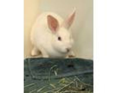 Adopt KATYDID a White New Zealand / Mixed rabbit in Frederick, MD (31933012)