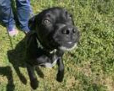 Adopt Boudeaux a Black Labrador Retriever / Mixed dog in Boulder, CO (31602125)