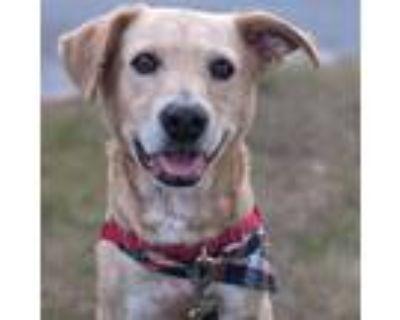 Adopt Louie a Labrador Retriever