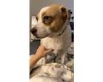 Adopt Peep a White - with Brown or Chocolate Beagle / Jack Russell Terrier /