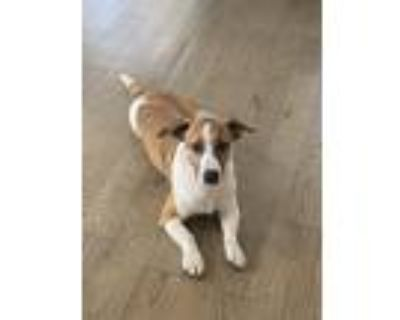 Adopt Cowboy a Brown/Chocolate - with White Jack Russell Terrier / Poodle