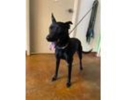 Adopt MONA a Black Labrador Retriever / Mixed dog in Austin, TX (31923818)