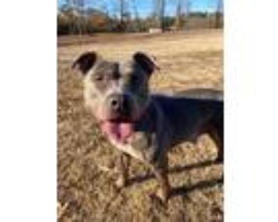 Adopt Molly a Gray/Blue/Silver/Salt & Pepper Pit Bull Terrier dog in Hudson