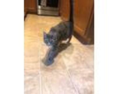Adopt Piper a Gray or Blue Domestic Shorthair (short coat) cat in Gilberts