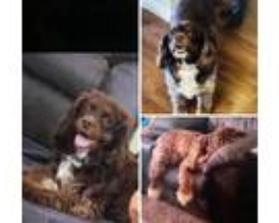 Adopt Charlie Brown a Brown/Chocolate - with White Cocker Spaniel / Mixed dog in