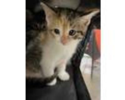 Adopt DIZY a Calico or Dilute Calico Domestic Shorthair / Mixed (short coat) cat