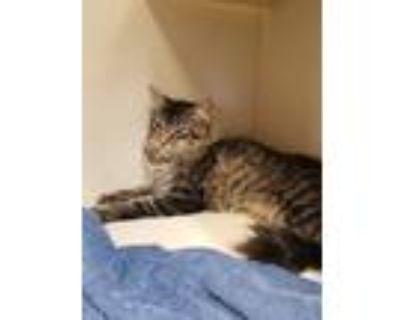 Adopt Scruffles a Domestic Mediumhair / Mixed (short coat) cat in Park City