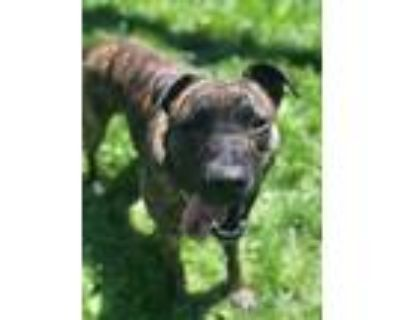 Adopt Luna a Brindle American Pit Bull Terrier / Mixed dog in Fishers