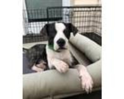 Adopt Ken Lonestar a Brindle - with White Pit Bull Terrier / Mixed dog in
