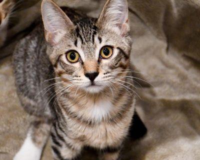 Dodge - Domestic Shorthair - Kitten Male
