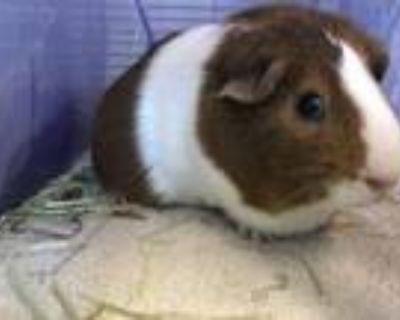 Adopt Cream Puff a Guinea Pig