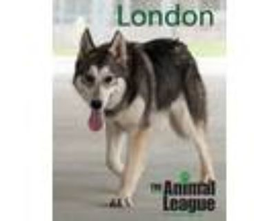 Adopt London a Gray/Silver/Salt & Pepper - with White Husky / Mixed dog in