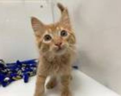 Adopt Peanut a Orange or Red Domestic Mediumhair / Mixed cat in Boulder