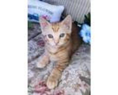 Adopt Frilled a Tan or Fawn Domestic Shorthair / Domestic Shorthair / Mixed cat