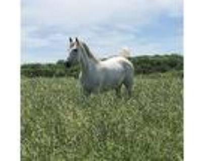 Opal, Quarterhorse For Adoption In Quakertown, Pennsylvania
