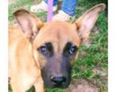 Adopt Roy a Red/Golden/Orange/Chestnut - with White Black Mouth Cur / Mixed dog