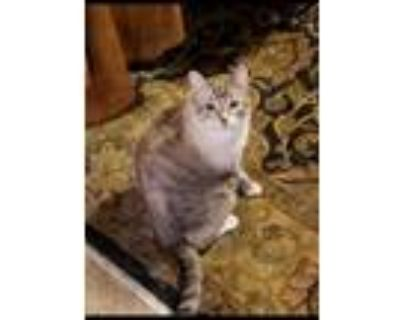 Adopt Zero a Gray or Blue American Shorthair / Mixed cat in Litchfield Park
