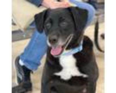 Adopt Cola a Labrador Retriever, Hound