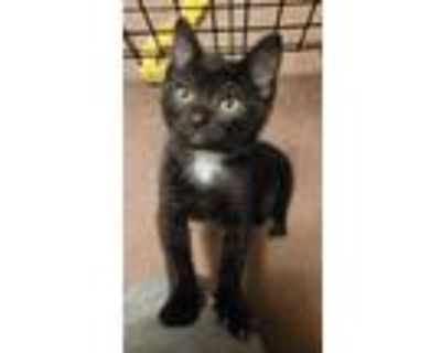 Adopt Popeye yellow a All Black Domestic Shorthair / Mixed cat in Battle