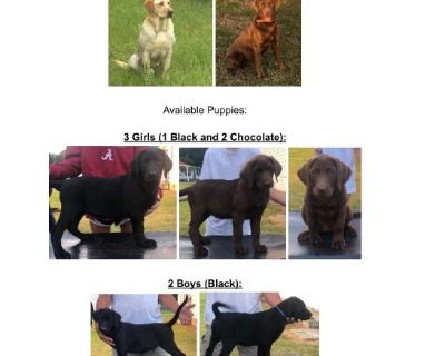 AKC REGISTERED LAB PUPPIES FOR SALE