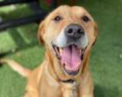 Adopt CHARLEE a Labrador Retriever