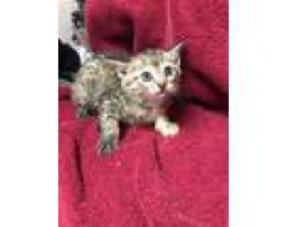 Adopt Cat Adams a Domestic Short Hair